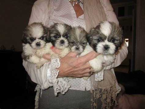 shih tzu for sale in kent shih tzu puppies for sale bromley kent area bromley kent pets4homes