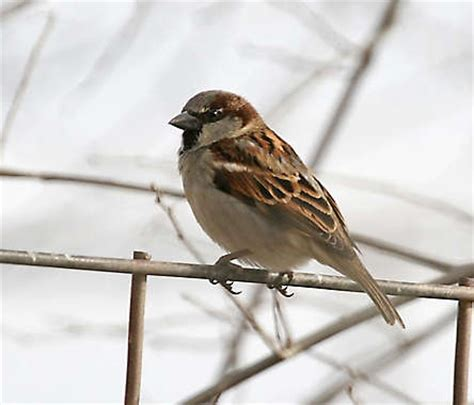 sparrow animal sweetness pinterest