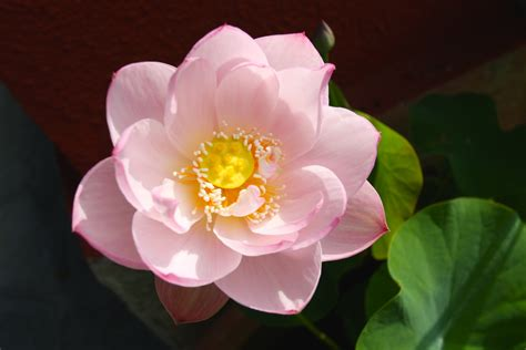 fiori di loto la bibi la perfezione dei fiori di loto e le differenti linee