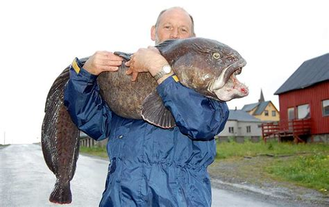 Reel Catfish Mtb the world s largest atlantic wolffish on rod and reel