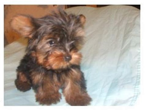 yorkie babies for free baby yorkie puppies for adoption shellycains prlog