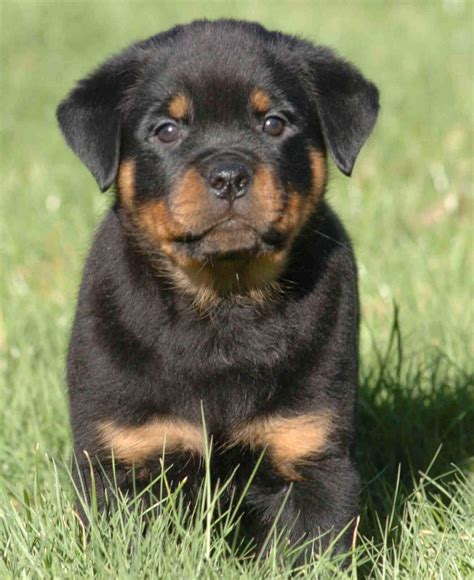 rottweiler information in rottweiler information pictures