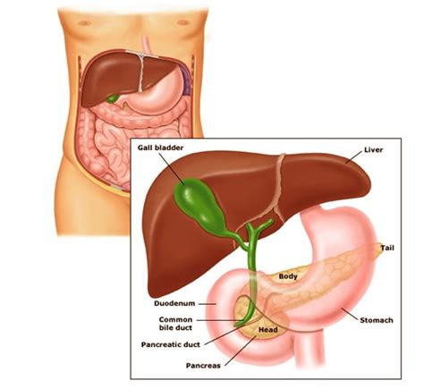 where is your pancreas located diagram pancreas function location problems anatomy