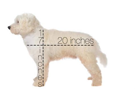mini goldendoodle height teddy goldendoodles