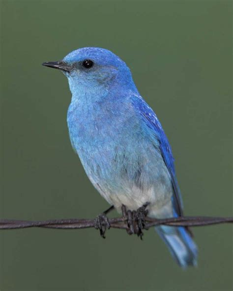 beautiful blue bird pictures incredible snaps
