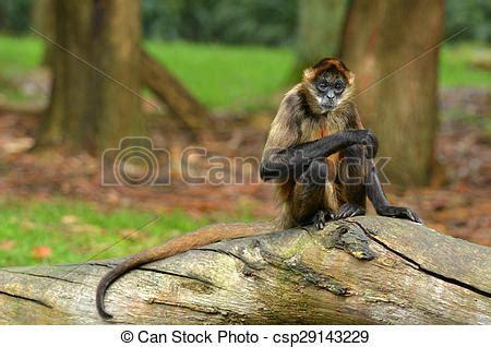 sedere di scimmia ragno tronco albero scimmia sedere scimmia copyspace
