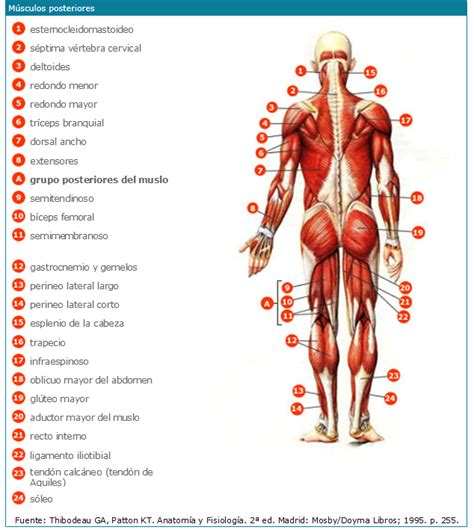 clasificacion de las cadenas musculares pdf infermeravirtual extremidad inferior actividades de
