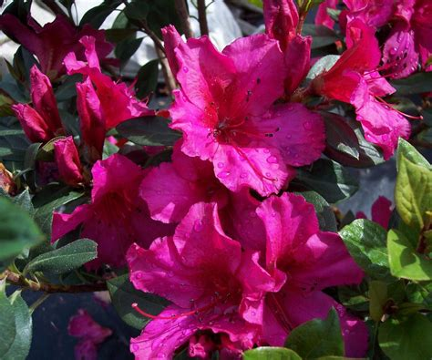 azalea colors encore azaleas different colors formosa s rubra