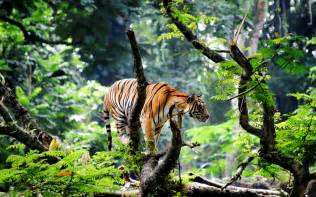 hd desk bengal tiger in jungle wallpapers hd wallpapers