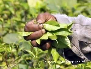 Teh Sariwangi Terbaru sariwangi ekspor 100 teh hasil lelang