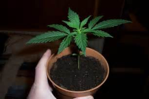 Small Pot Plants by In Colorado You May Grow 3 Small Cannabis Plants And 3