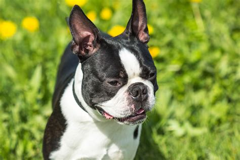 what size crate what size crate for a boston terrier best crate guidelines barkspace