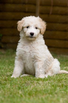 border doodle puppies for sale uk border collie poodle cross bordoodle myoodle my