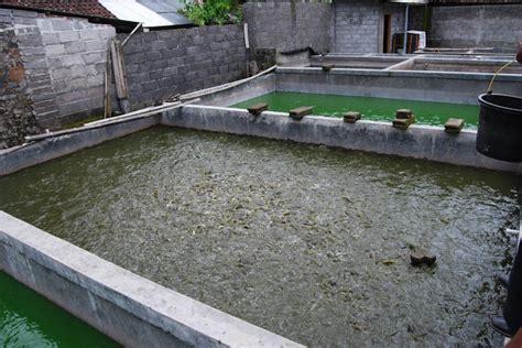 Bibit Lele Gorontalo budidaya ikan lele perawatan ikan saat tebar benih di