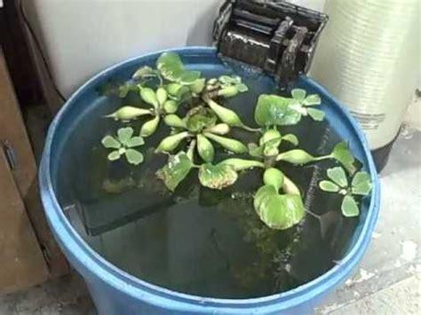goldfish koi time  move fish overwinter water plants
