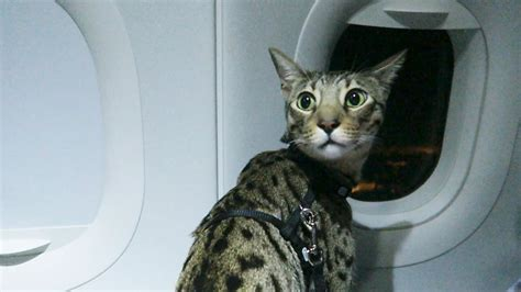 taking a on a plane cats on a plane