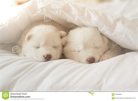 puppy sleeping in bed siberian husky puppy sleeping on white bed stock image