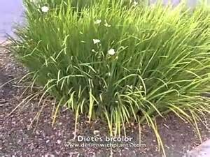 bi color iris dietes bicolor bicolor fortnight iris
