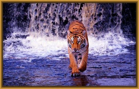 imagenes fondo de pantalla tigre fondo de pantalla tigre de bengala fotos especiales