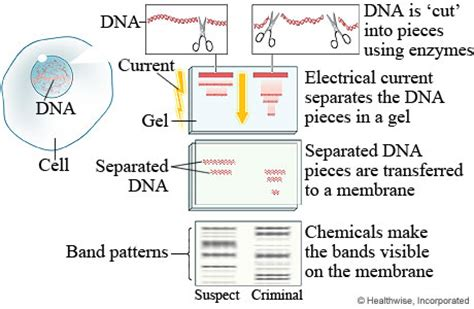 dna fingerprinting lab report sle celestine s csi journal 2012 10th lesson dna fingerprinting
