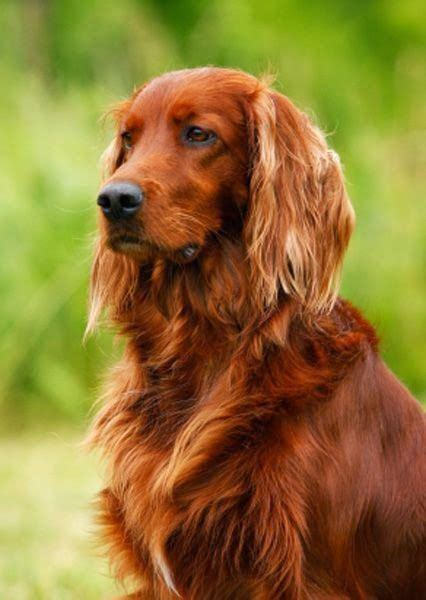 irish setter definition irish setter is a long haired dog breed irish setters are