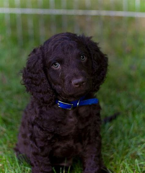 water spaniel puppies american water spaniel