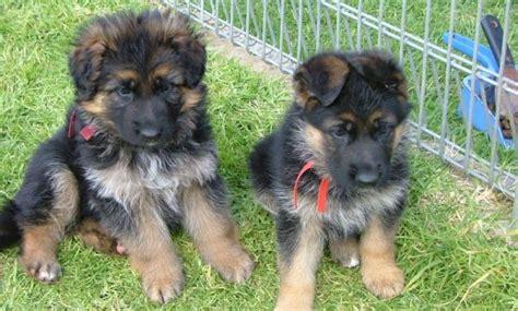 6 week german shepherd puppies 6 week german shepherd puppies 1001doggy