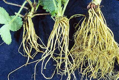 Jual Easy Grow Planter Bag strawberry root lesion cocoponics community