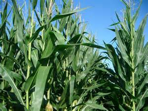 Corn and a bright blue sky a sight to behold for a country girl