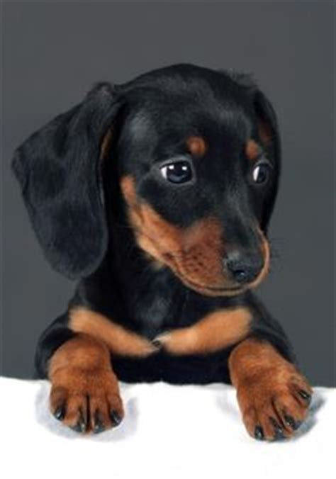 doxin puppies weiner dogs on dachshund puppies dachshund and wiener dogs