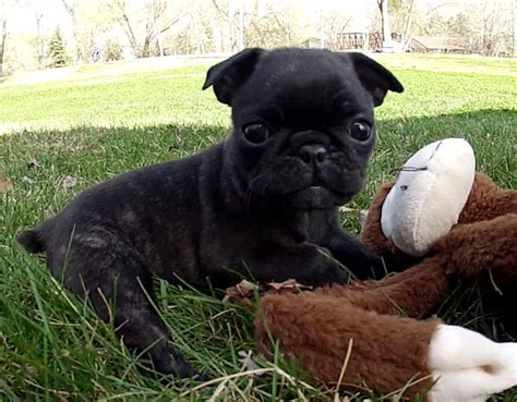 bugg puppy 15 best images about i want a bugg on olives sweet and terrier puppies