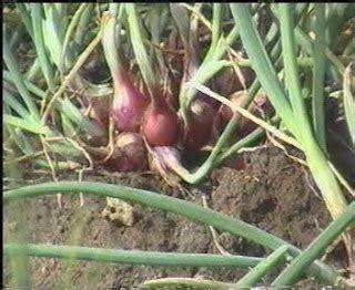 Bibit Bawang Merah Bima Curut budidaya bawang merah ala brebes petani karangjunti