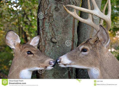 and bucks buck and doe in woods stock photo image of tree