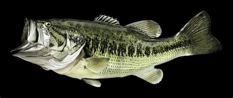 Bass Fisch by Largemouth Bass Fish Mount And Fish Replicas Coast To Coast