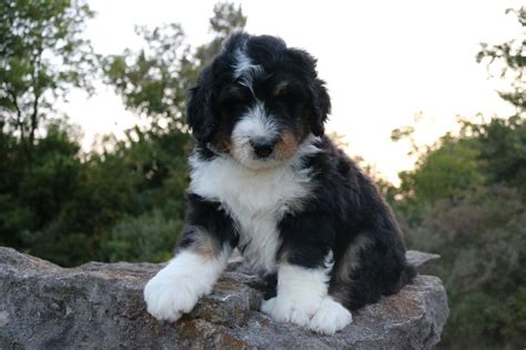 tiny bernedoodle puppies for sale tri color bernedoodle puppy