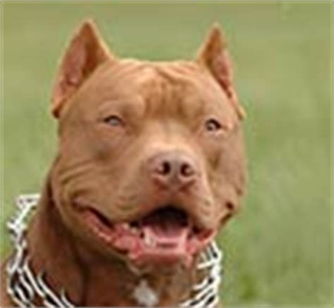which is more dangerous rottweiler or pitbull dangerous breeds dogsbite org
