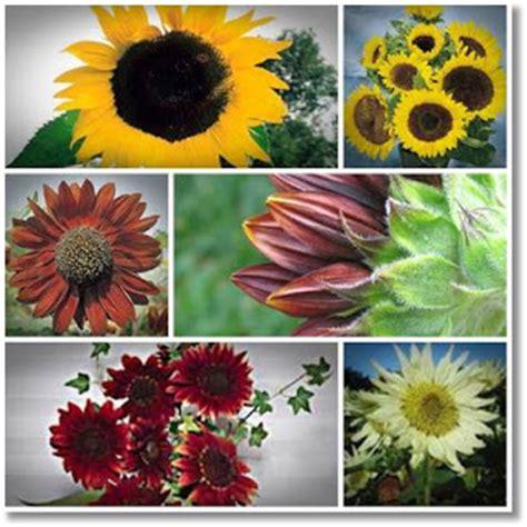 Jual Bibit Bunga Matahari Jakarta jual biji tanaman hias bunga matahari