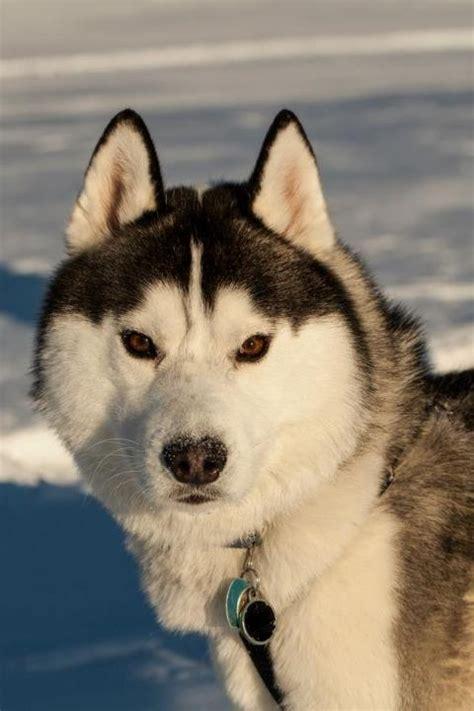 how many puppies do huskies why do siberian huskies wolf like appearance many