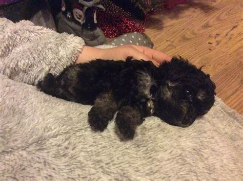 teacup yorkie free to home teacup yorkie puppies free to home breeds picture