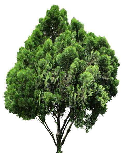 imagenes png vegetacion 20 im 225 genes de 225 rbol png platycladus orientalis