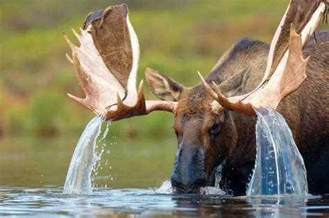Moose Rack by Picture Of The Day Water Cascading From A Moose S Antlers