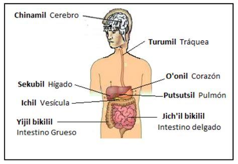 interior del cuerpo humano organos partes internas del cuerpo humano tsotsil