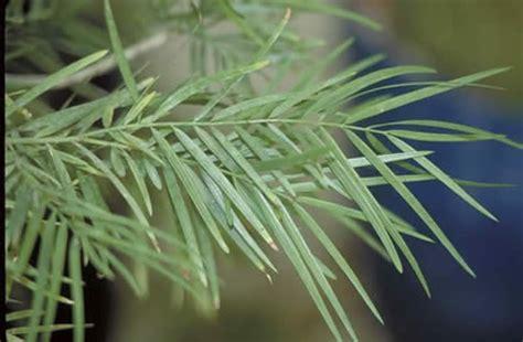 weeping podocarpus tree selection landscape plants