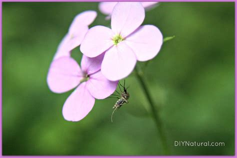 natural mosquito repellents homemade mosquito repellent keep mosquitos bugs away