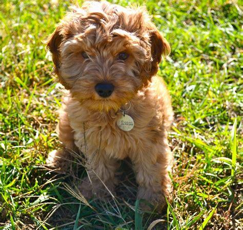 cockapoo puppies for sale in sc die besten 25 cockapoo puppies for sale ideen auf hundearten cockapoo