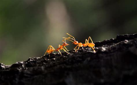 animals hymenoptera oecophylla macro ants wallpapers hd desktop  mobile backgrounds
