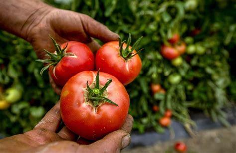 come coltivare pomodori in vaso come coltivare pomodori insalatari vaso