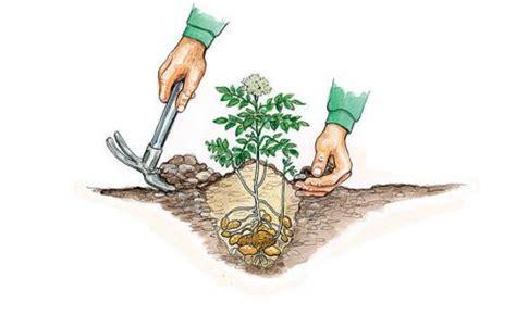 Wie Pflanze Ich Kartoffeln 4632 by Kartoffeln Pflanzen Und Ernten Mein Sch 246 Ner Garten