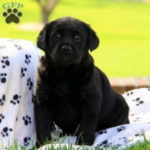 puppies in lancaster pa black lab puppies in lancaster pa merry photo