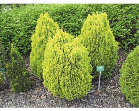 vorgarten pflanzen pflanzen set vorgarten schatten 2 3 stk bei hornbach kaufen